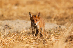 Young Red fox stock image