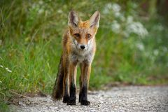 Young red fox standing on gravel roadside in summer. Young red fox, vulpes vulpes, standing on gravel roadside in summer. Wild animal on road stock photos