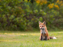 Young red fox watching for movement in the grass. Immature red fox (vulpes vulpes) - about 8-10 months - keeping a watchfull eye on the grass in search of prey Royalty Free Stock Images
