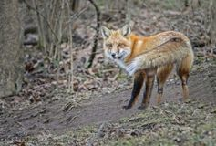 A young Red Fox in winter stares at the camera noise. One Little wild Red Fox stares at the camera Royalty Free Stock Photos