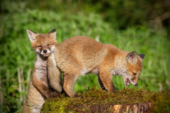 Young red foxes at play. Young red foxes out discovering Royalty Free Stock Image
