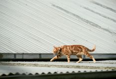 Young red ginger tabby cat walking across a corrugated iron roof. Young red ginger tabby cat photographed while walking across a corrugated iron roof contrasting Stock Photo