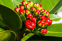 Young red golden penda Stock Image