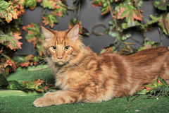 Young red-haired Maine Coon on artificial grass Royalty Free Stock Photography