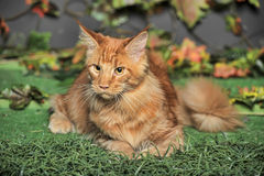 Young red-haired Maine Coon on artificial grass Stock Photos