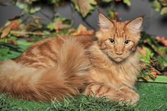 Young red-haired Maine Coon on artificial grass Stock Image