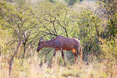 Young red hartebeest grazing in nature reserve Stock Photos