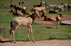 Young Red Hartebeest with herd, Addo Elephant National Park, South Africa Stock Images