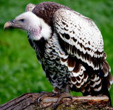 Young Red-headed Vulture Stock Image