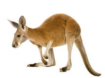 Young red kangaroo (9 months) - Macropus rufus. In front of a white background Stock Photos