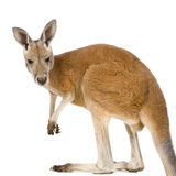 Young red kangaroo (9 months) - Macropus rufus. In front of a white background Royalty Free Stock Photos