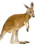 Young red kangaroo (9 months) - Macropus rufus. In front of a white background Royalty Free Stock Photography