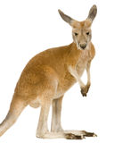 Young red kangaroo (9 months) - Macropus rufus. In front of a white background Royalty Free Stock Image