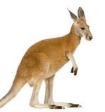 Young red kangaroo (9 months) - Macropus rufus. In front of a white background Stock Images