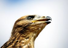 Young Red Kite - Milvus Milvus Stock Photos