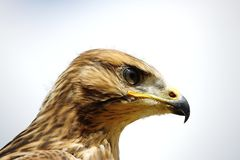Young Red Kite - Milvus Milvus. Portait on bright background Royalty Free Stock Photography