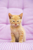 Young red kitten Royalty Free Stock Image