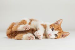 Young red kitten posing Royalty Free Stock Image