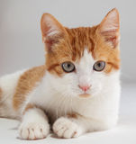 Young red kitten posing Stock Photo