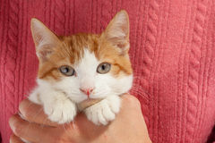 Young red kitten sits in the hands Royalty Free Stock Photo