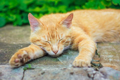 Young Red Kitten Sleeping Royalty Free Stock Photography