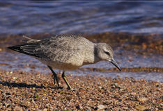 Young Red Knot Calidris Canutus 2 Stock Photo