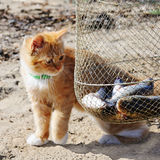 Young red maine coon and fish. Royalty Free Stock Photos