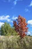 Young red maple on a background of green trees and blue sky with clouds. Young red maple on a background of green trees and blue sky with clouds, Russia royalty free stock image