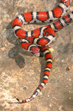 Young Red Milk Snake Royalty Free Stock Photography