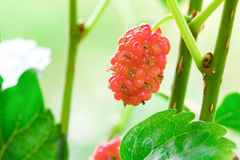 Young red Mulberry fruit on tree Royalty Free Stock Photography