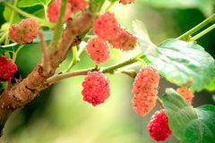 Young red Mulberry fruit on tree Royalty Free Stock Photos