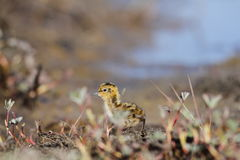Young red-necked phalarope running on the tundra. Cute young red-necked phalarope running on the tundra Royalty Free Stock Photography