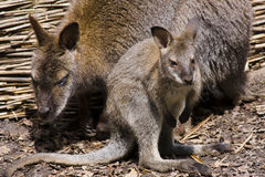 Young red-necked wallaby (Macropus rufogriseus). A young red-necked wallaby and its mother Royalty Free Stock Photos