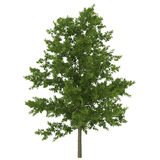 Young Red Oak Tree Summer on white. 3D illustration Royalty Free Stock Photography