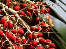 Young red palm fruits Royalty Free Stock Photos