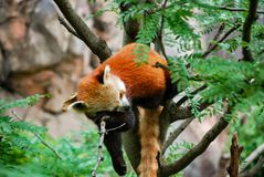 Tired Red Panda down for a nap stock image
