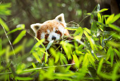 Young red panda Royalty Free Stock Photography