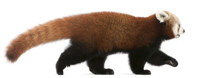 Young Red panda or Shining cat, Ailurus fulgens Stock Photography