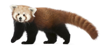 Young Red panda or Shining cat, Ailurus fulgens royalty free stock images