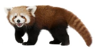 Young Red panda or Shining cat, Ailurus fulgens, 7 months old. In front of white background stock photos