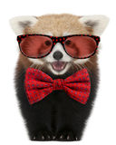 Young Red panda wearing glasses and a bow tie Stock Photography