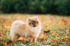 Young Red Puppy Pomeranian Spitz Puppy Dog Posing Outdoor In Autumn Grass royalty free stock image