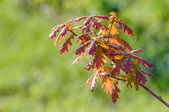 Young Red Quercus Robur Leaves. Young red Quercus robur under the warm spring sun Stock Photos