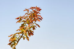 Young Red Quercus Robur Leaves. Young red Quercus robur under the warm spring sun Stock Image