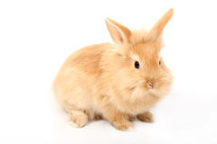 Young red rabbit Stock Image