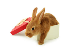 Young red rabbit in gift box Royalty Free Stock Images