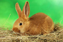 Young red rabbit Stock Photography