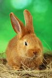 Young red rabbit Stock Photo
