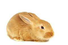 Young red rabbit Royalty Free Stock Photos