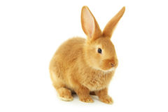 Young red rabbit Royalty Free Stock Images